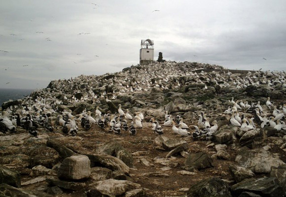 Głuptaki na Sula Sgeir (fot. John M. MacFarlane)